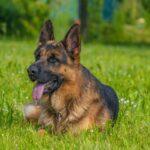 Cane da Pastore tedesco: tutto quello che devi sapere su temperamento e carattere