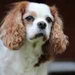 Cavalier King Charles Spaniel: carattere, prezzo, cura e caratteristiche della razza
