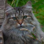 Gatto delle foreste Norvegesi: carattere e caratteristiche del gatto originario dei paesi scandinavi