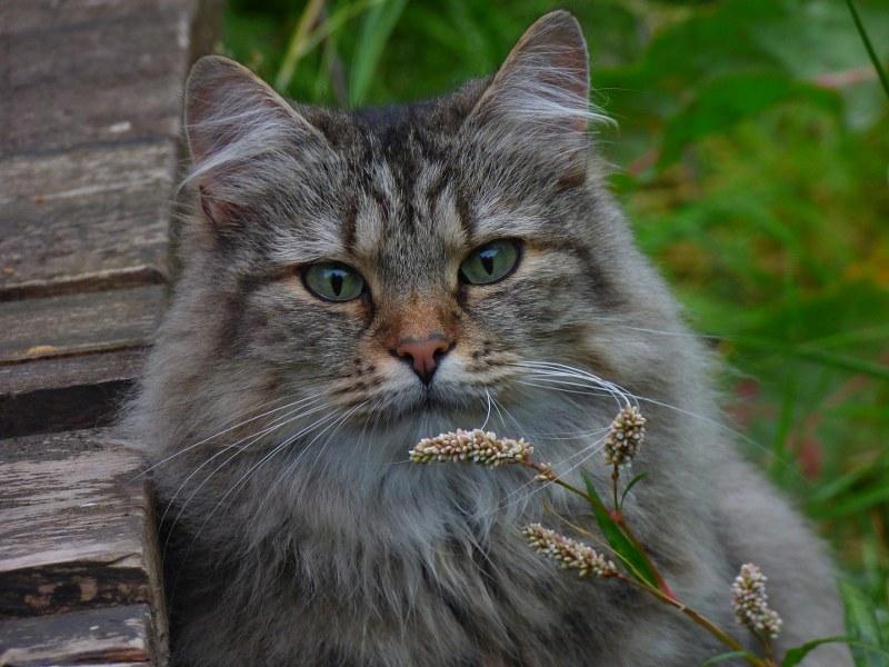 Gatto-delle-foreste-norvegesi