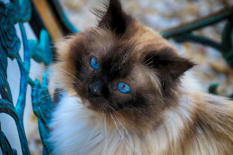 Gatto-sacro-di-birmania