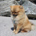 I Cani più piccoli del mondo: Razze, caratteristiche e curiosità