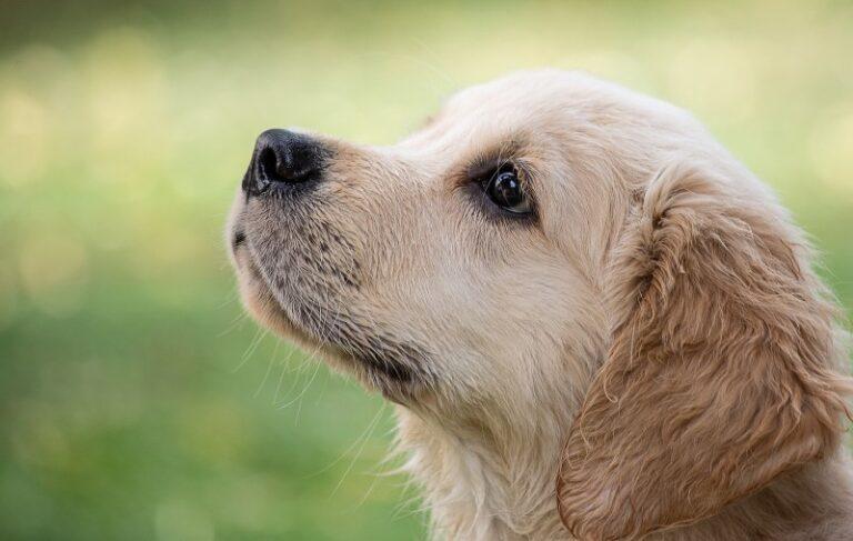 Cani che non perdono pelo: le razze ipoallergeniche